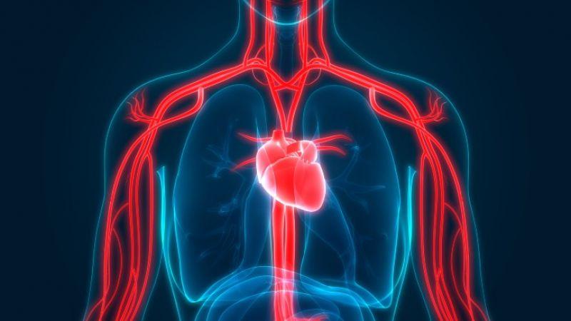 human circulatory system illustration by iStock/magicmine