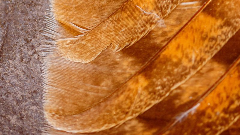 Closeup of owl wing